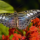 The Fall Butterfly