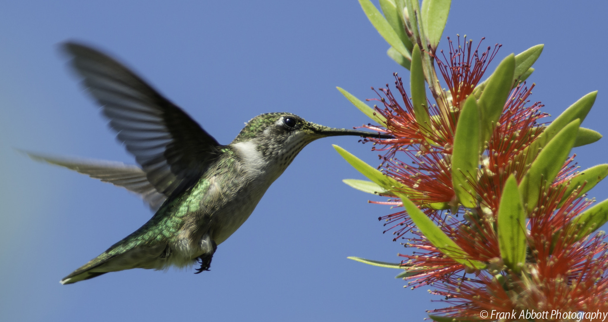 Photograph Ruby-throated Humming Bird by Franklin Abbott on 500px