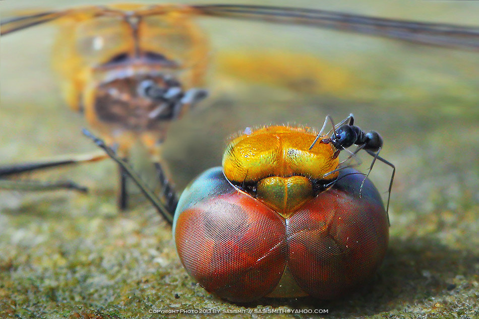 Photograph Ant by Sasi - smit on 500px