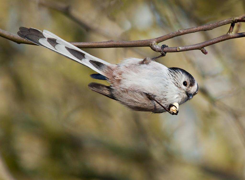 Photograph long tailed tit holding on by Phil Horton on 500px