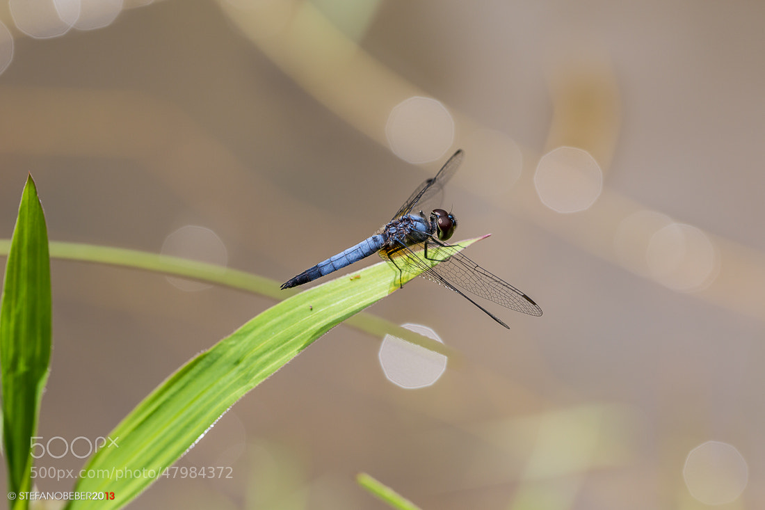 Photograph Blue Dragonfly by Stefano Beber on 500px