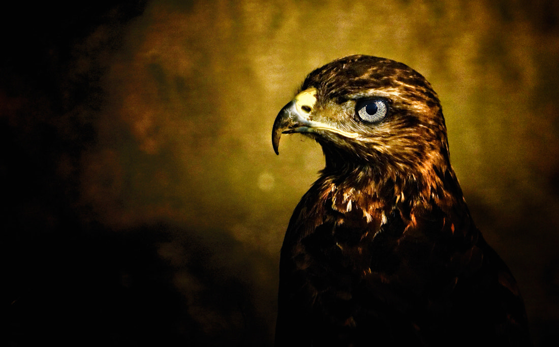 Photograph hawk by hakan kalyoncu on 500px