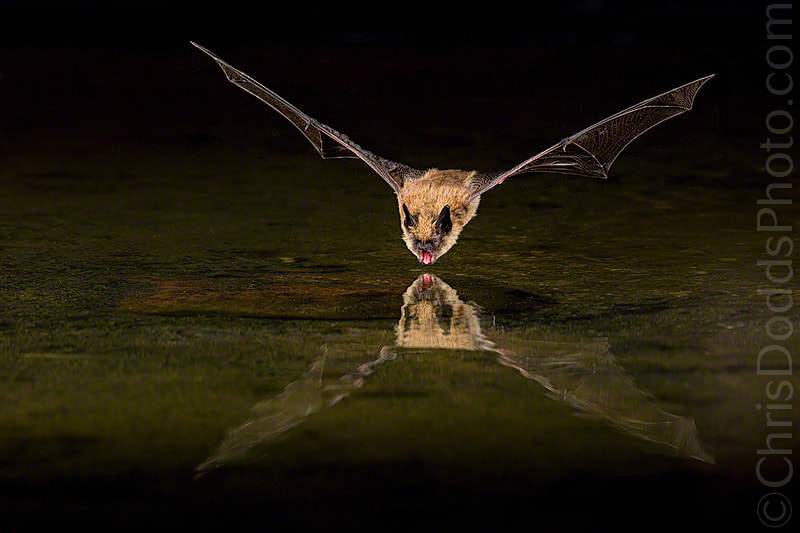 Photograph Big Brown Bat by Christopher Dodds on 500px