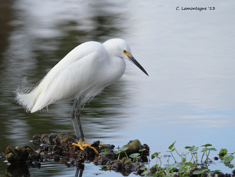 Snowy Egret waiting for something delicious to swim by :)