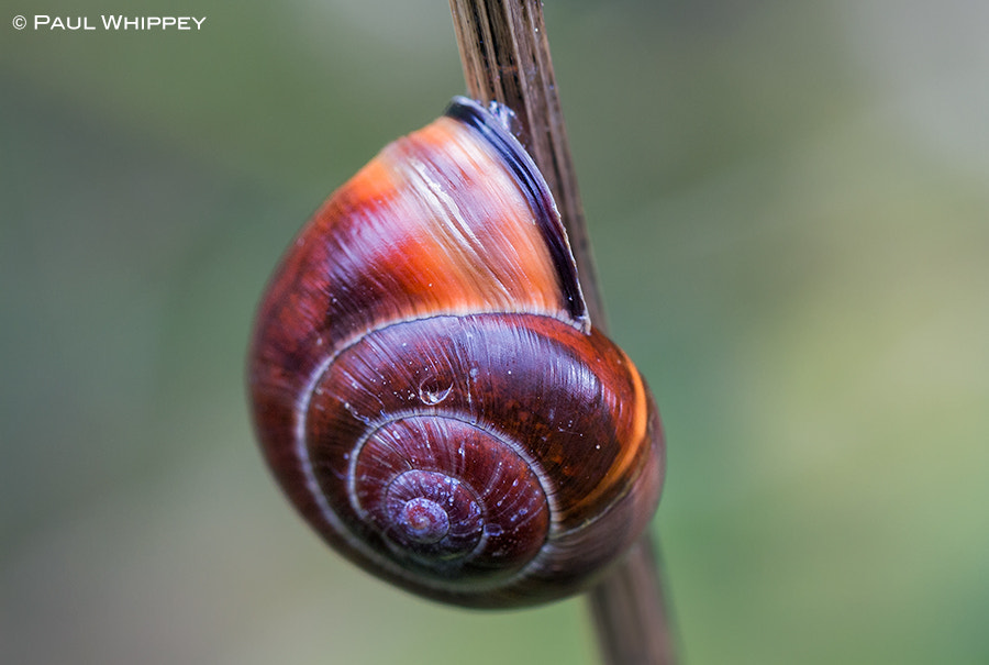 Photograph Technicolor snail shell by Paul Whippey on 500px