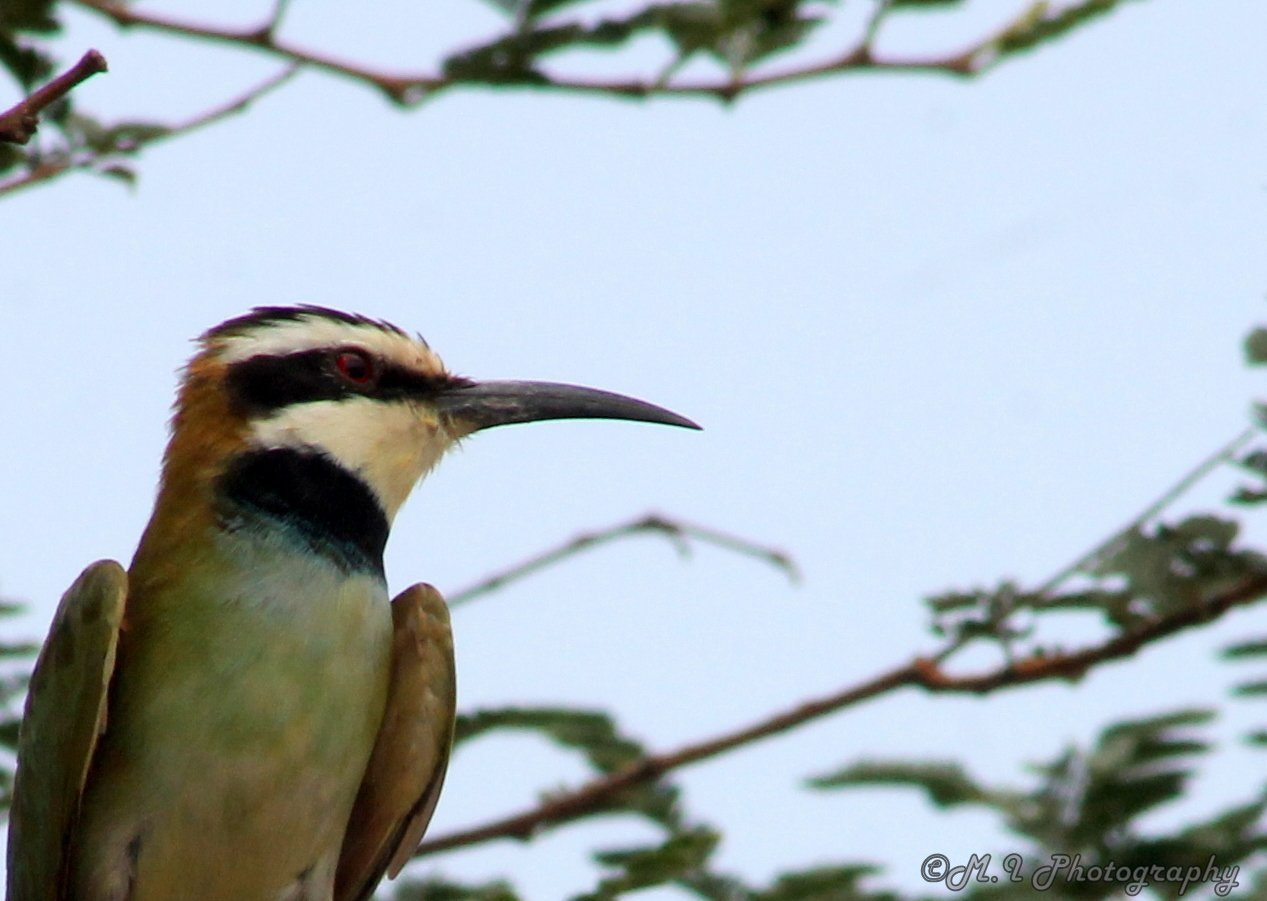 Photograph White-throated Bee-eater by Mohamed Ismael on 500px