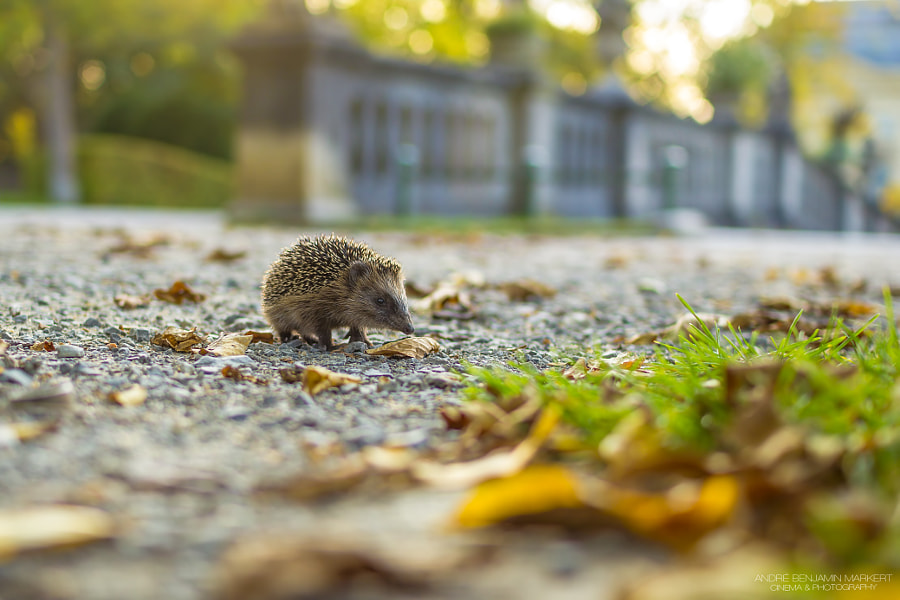 Photograph Little Hedgehog on Tour by André Benjamin Markert on 500px