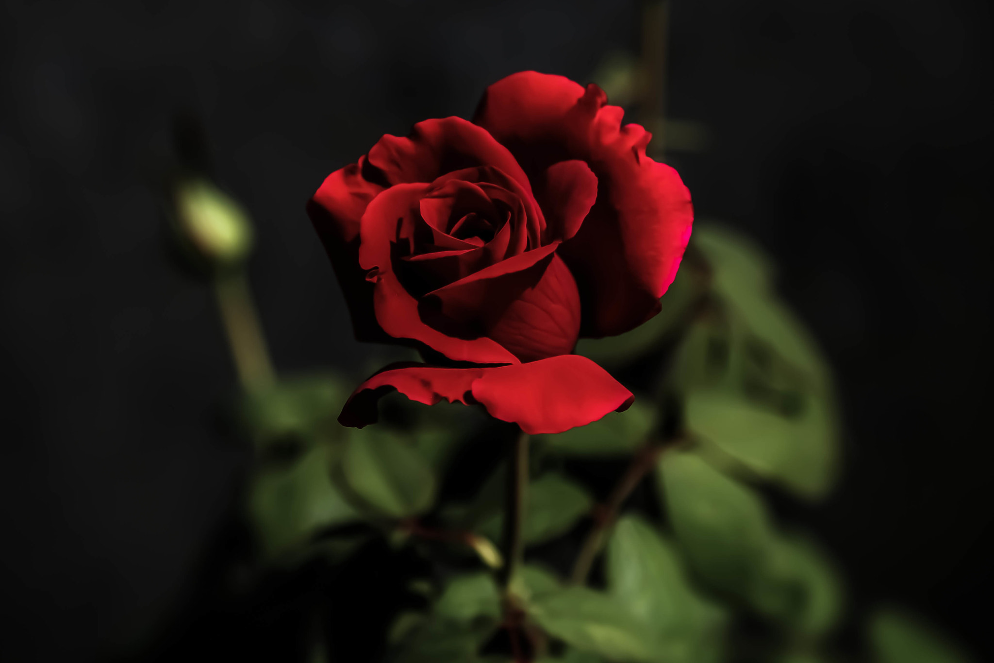 Photograph Rose by Howard Bond on 500px
