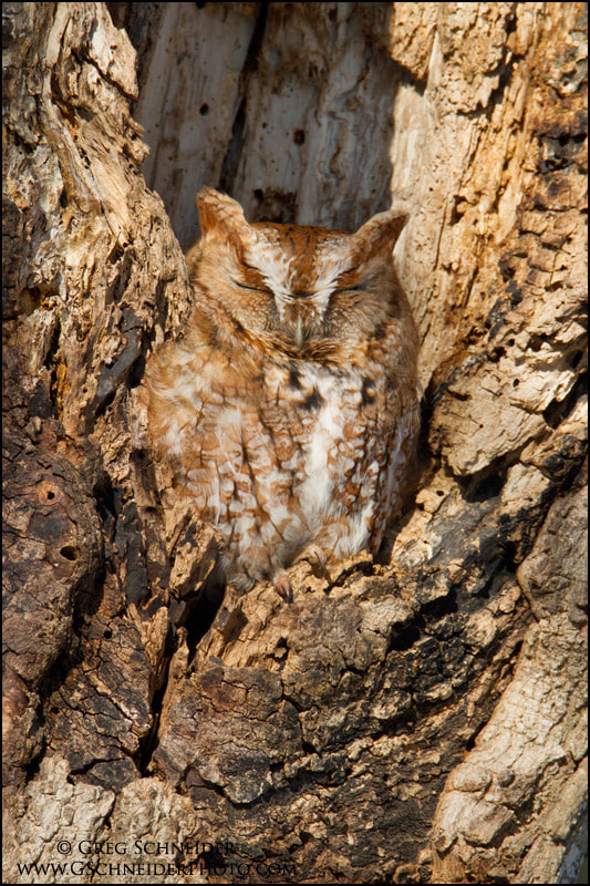 Photograph Eastern Screech owl asleep in its home by Greg Schneider on 500px
