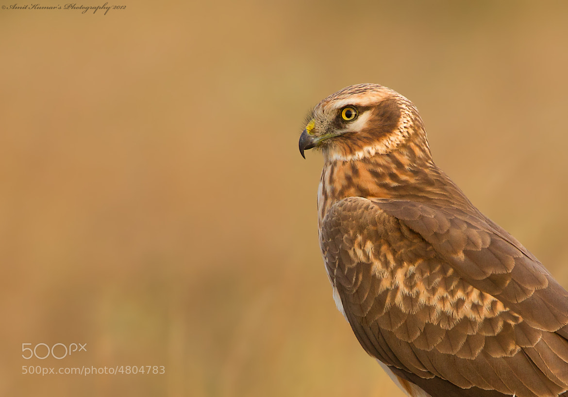 Photograph Pallid Harrier Portrait by Amit Kumar on 500px