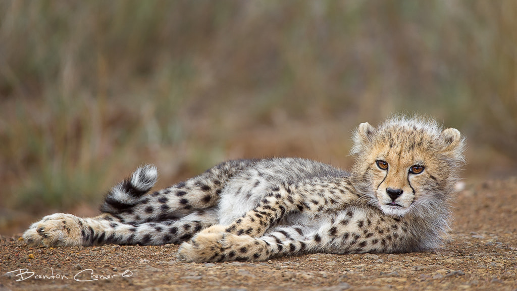 Photograph Cheetah Cub by Brendon Cremer on 500px
