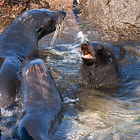 Постер, плакат: Fur seals fighting