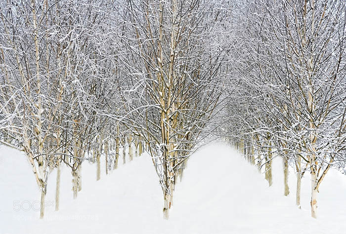 Rows of Birch trees in Snow