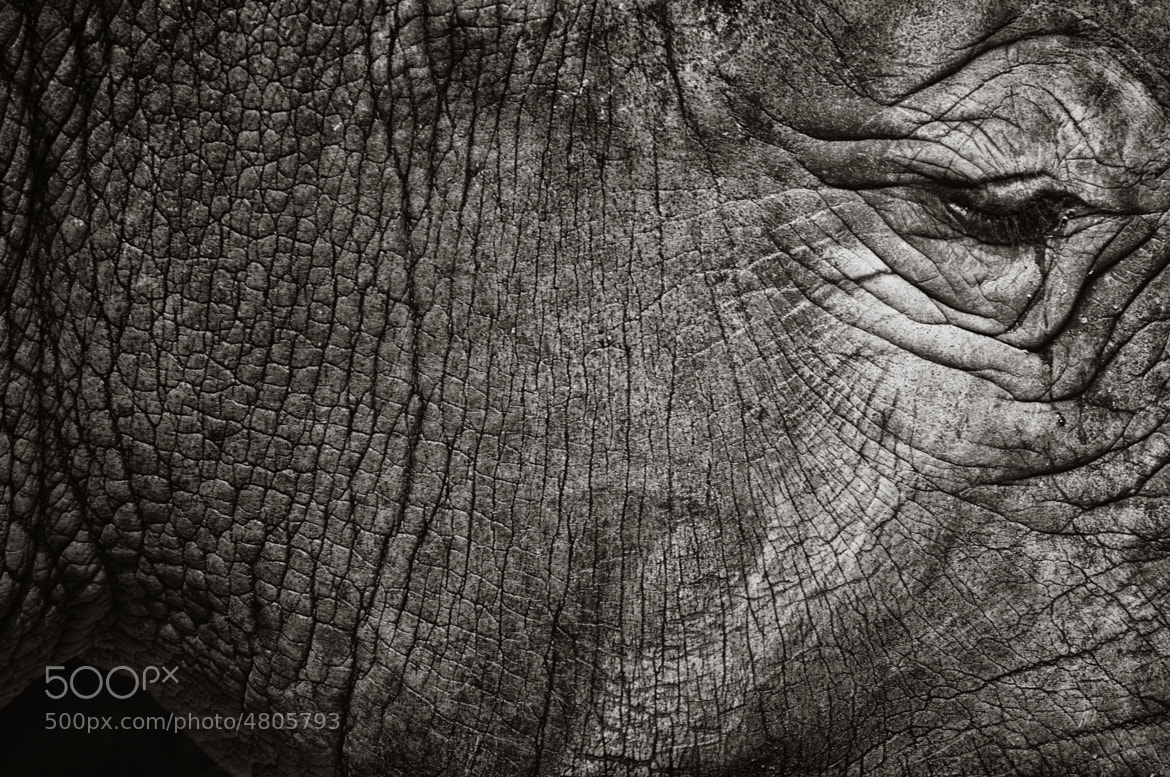 Photograph Teardrop of rhino by Paolo Dari on 500px