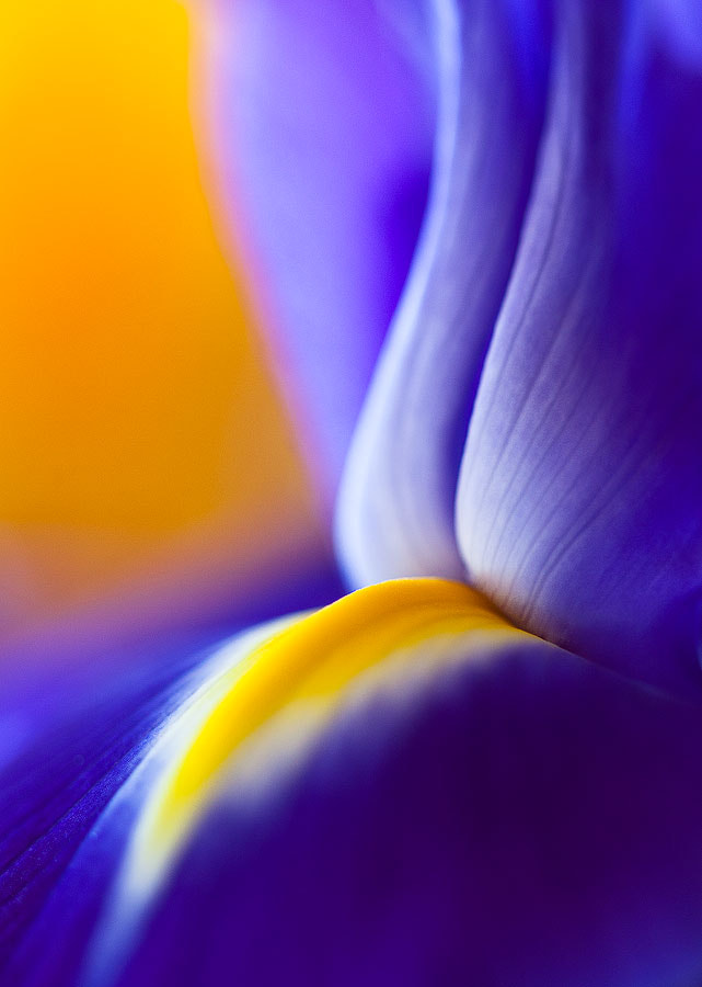 Photograph Iris Abstract by Bob Duff on 500px