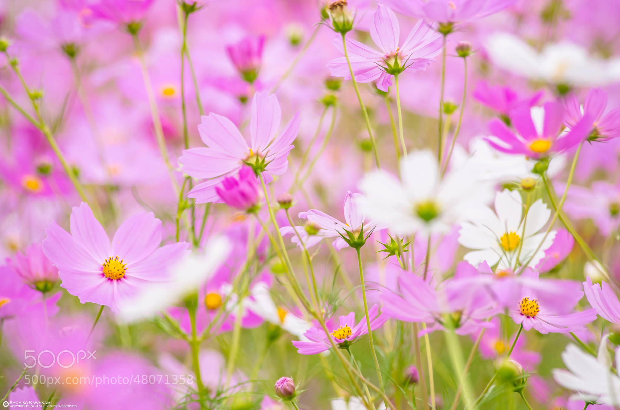 Photograph 愛情 by Sachiko Kawakami on 500px
