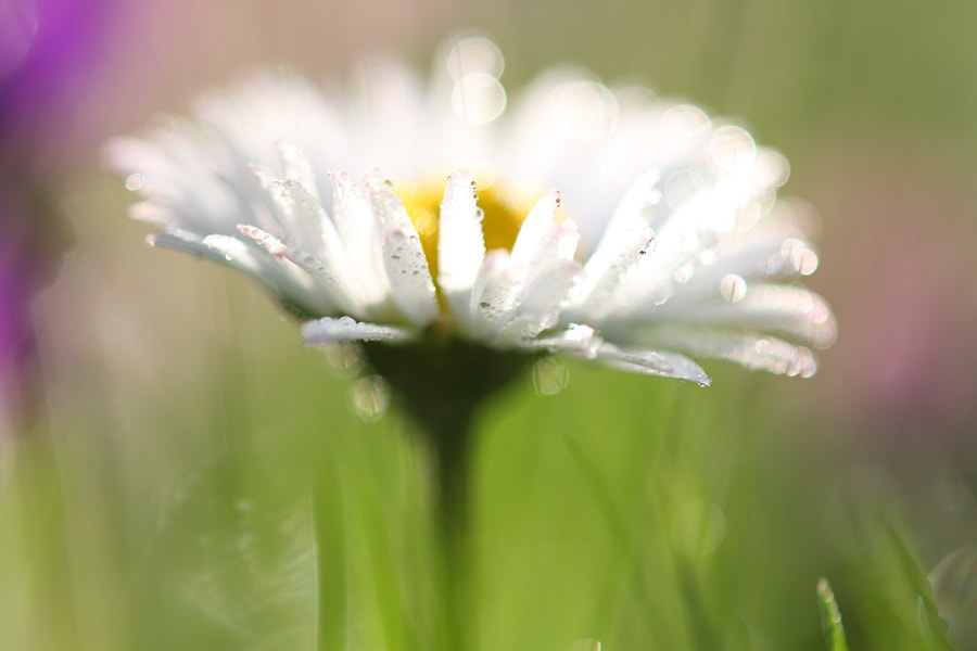 Photograph Flower after the Rain by Manfred Huszar on 500px