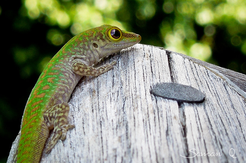 Photograph Gecko lizard by Sawsan Mohammed on 500px