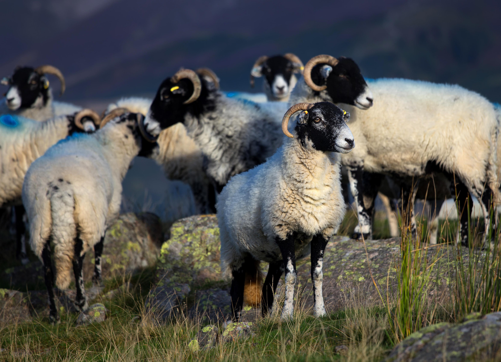 Photograph Sheep by Phil Buckle on 500px