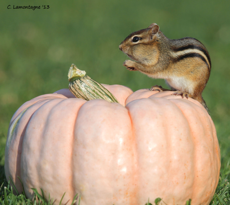 Chipmunk posing on a pink pumpkin in my yard.