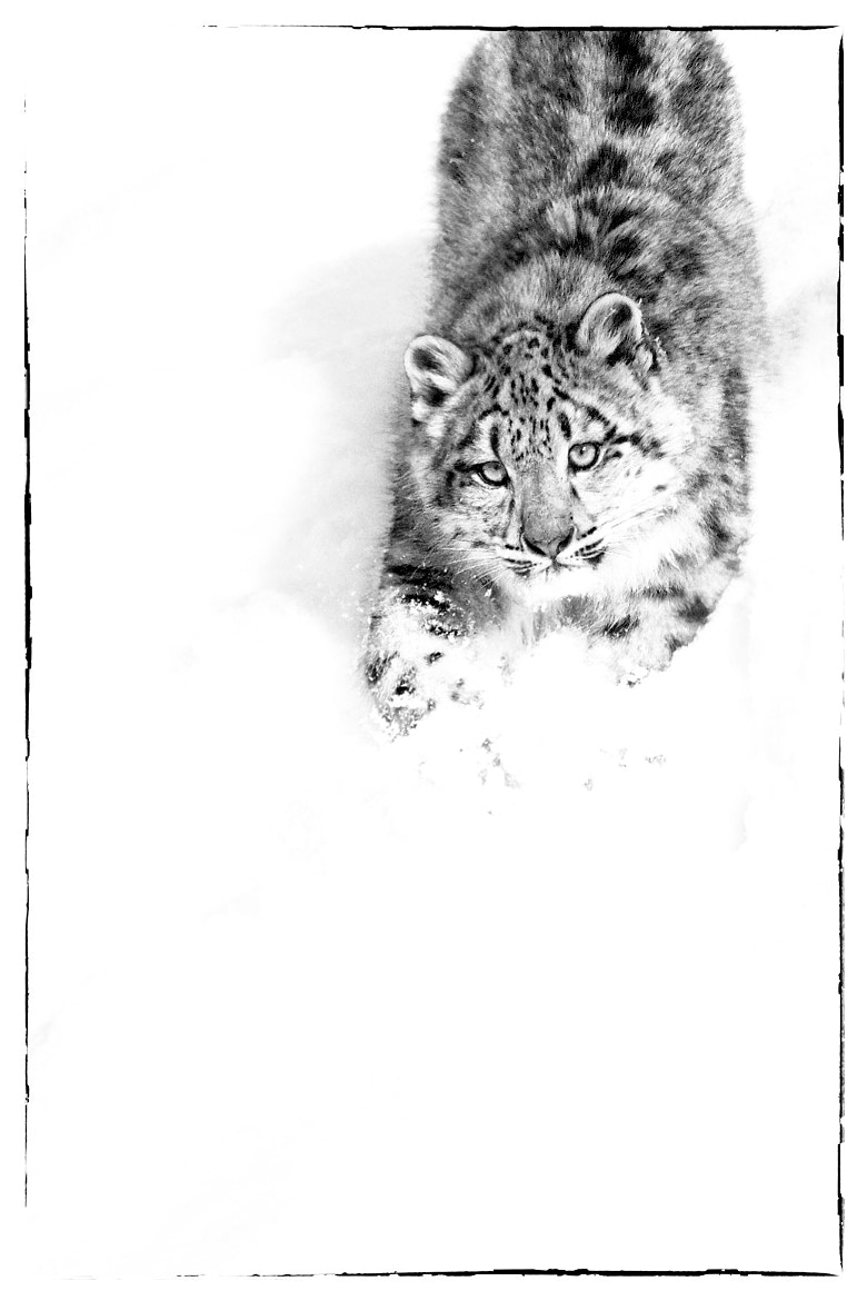 Photograph Snow leopard playing in snow by Jacques-Andre Dupont on 500px