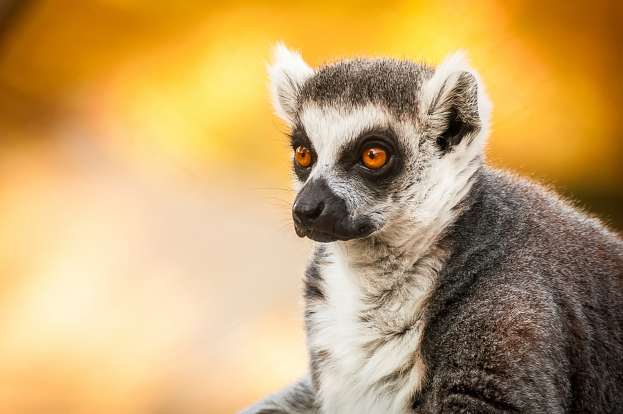 Lemur close-up by DoubleM Photography on 500px.com