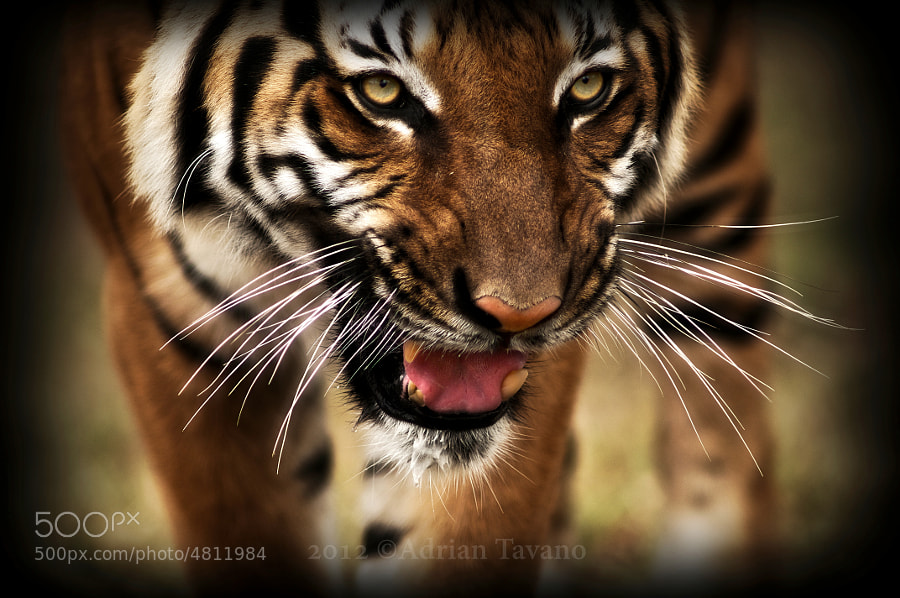Hati,10,malayan tiger and oh what a beautiful one he is!