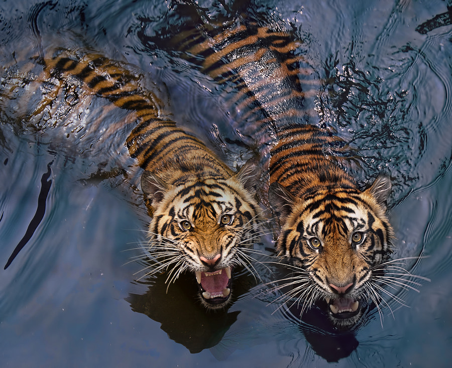Tiger photography -Tiger Couple by Robert Cinega on 500px.com