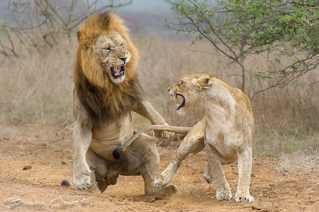 Photograph Agression by Brendon Cremer on 500px