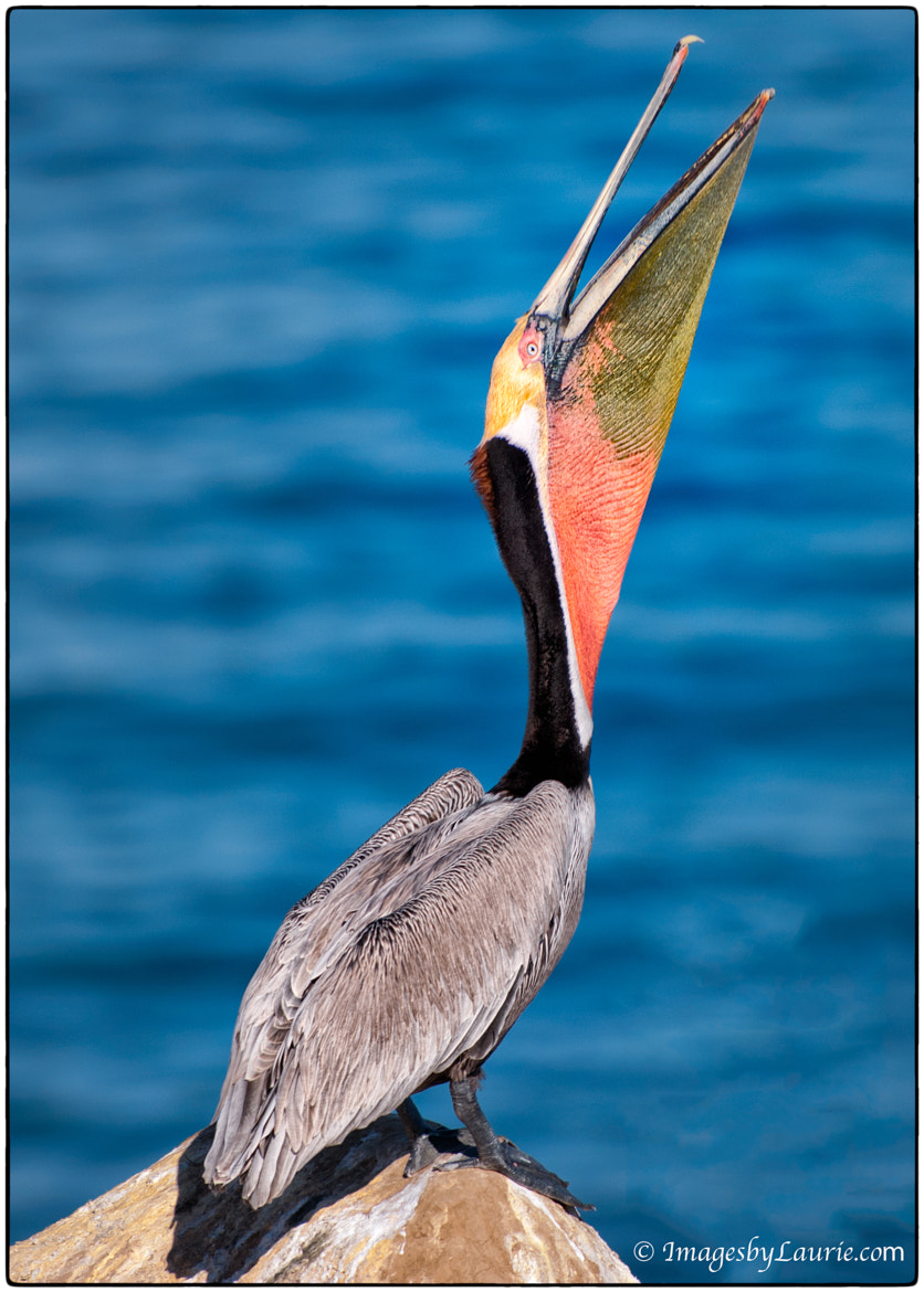 Photograph Brown Pelican Head Throw by Laurie Rubin on 500px