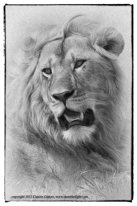 Photograph Young male lion portrait by Charles Glatzer on 500px