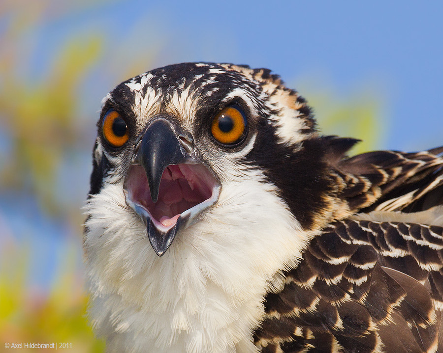 Photograph Osprey Scream by Axel Hildebrandt on 500px