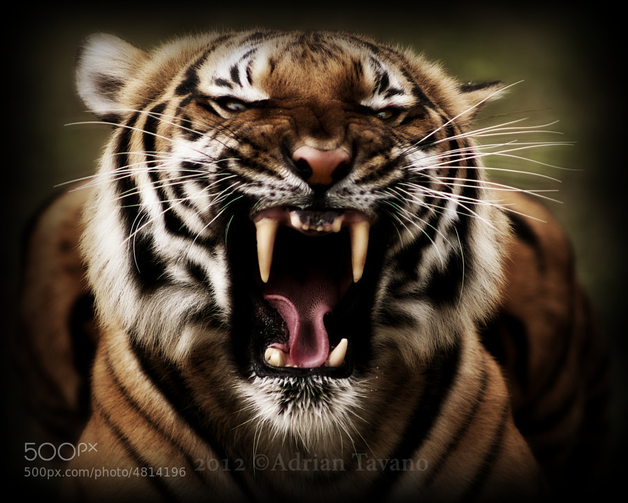 Malayan tiger at its best....less a tooth ;)