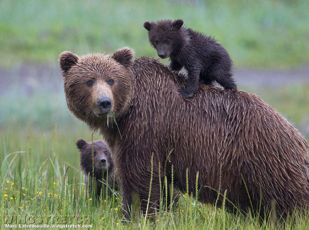 Photograph Alaskan Coastal Brown Bear Family by Marc Latremouille on 500px