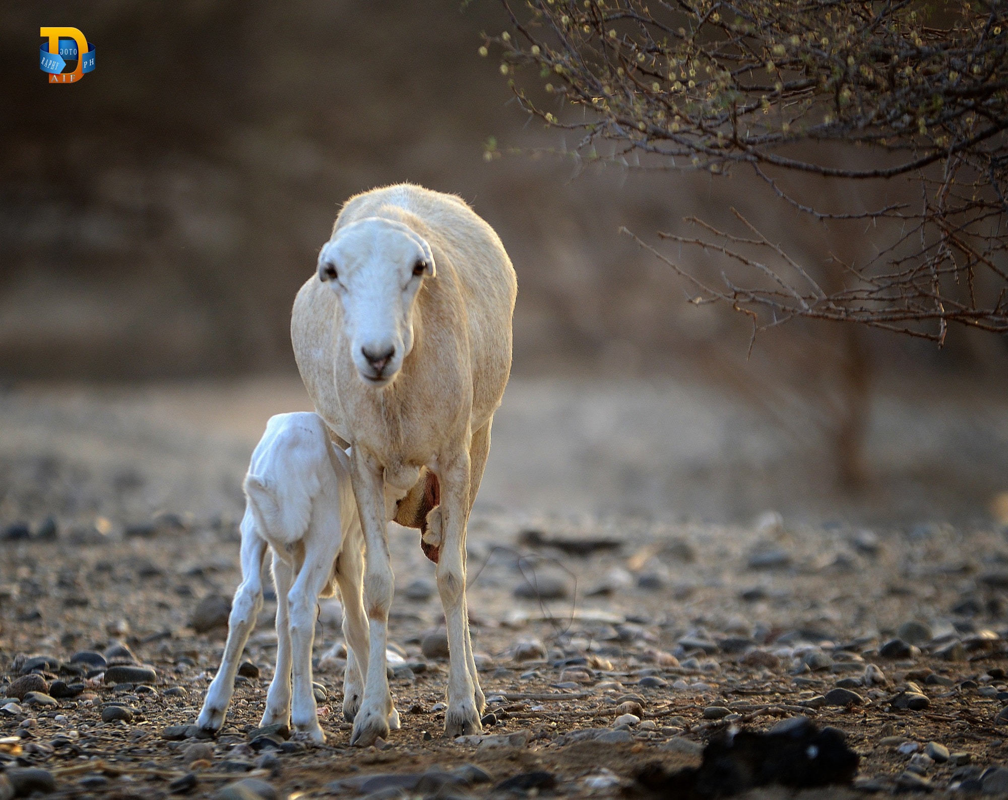 Photograph sheep mother by Daifallah Mansour on 500px