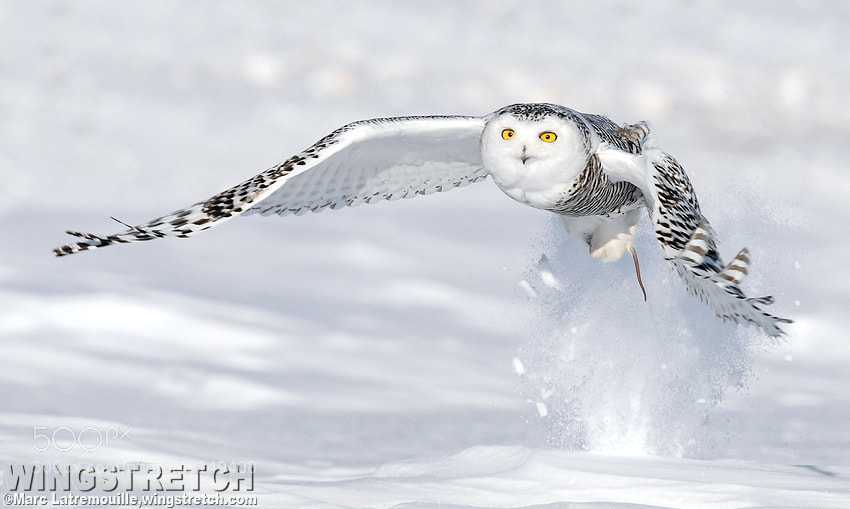 Photograph Snowy Owl Explosion by Marc Latremouille on 500px