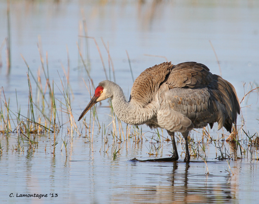 Sandhill Crane right after she had shaken her a feathers. Taken in St. Cloud, Florida.
