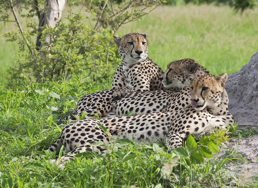 The three Male Cheetah coalition resident in Kwando concession, Botswana.