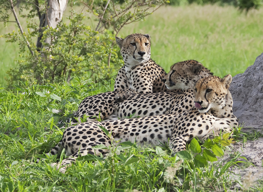 The three Male Cheetah coalition resident in Kwando concession, Botswana.