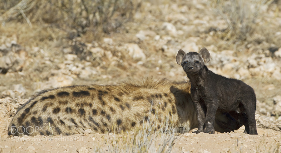 A spotted Hyena cub (they are black when young) stands proudly by his mum, in Kgalagadi Transfrontier Park, South Africa