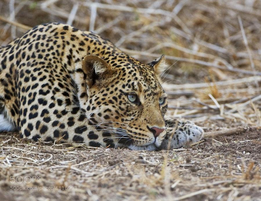 This Leopard was having a little rest after an evening walk.  Taken in Tuli Block, Botswana