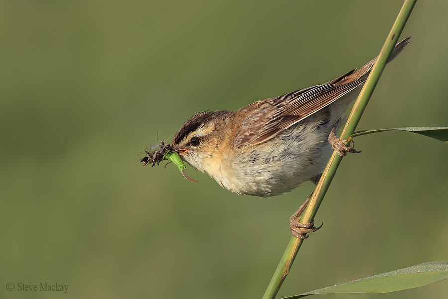 Photograph Sedge Warbler by Steve Mackay on 500px