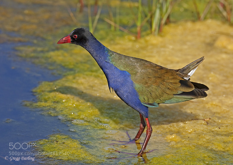Photograph Allen's Gallinule. by Gregg Darling on 500px