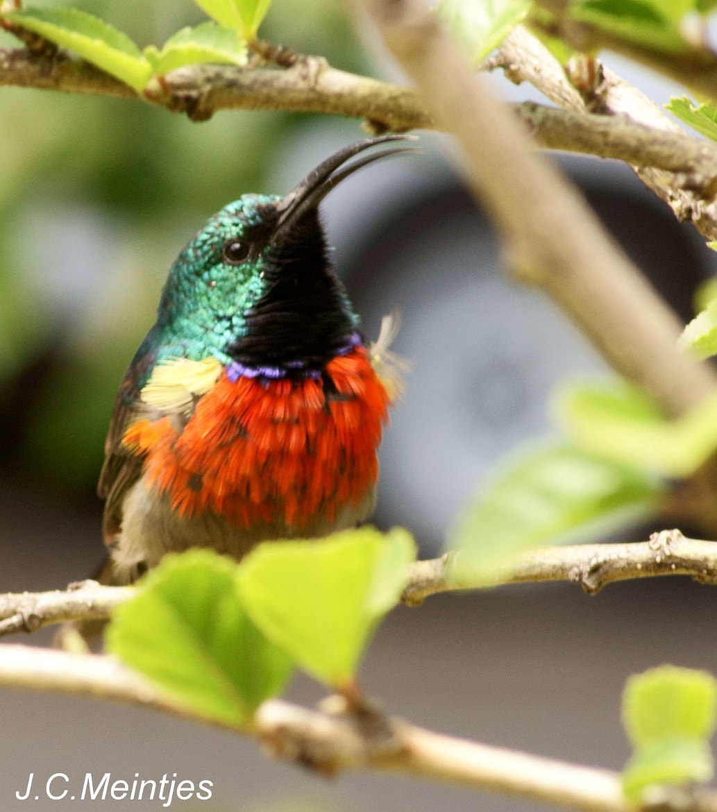 Photograph Southern (Lesser) Double Collard Sunbird. by Johannes Christoffel Meintjes on 500px