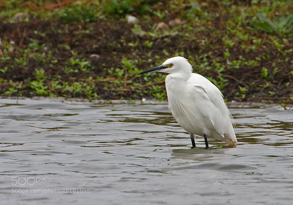 Photograph Little Egret by Derek Lees on 500px