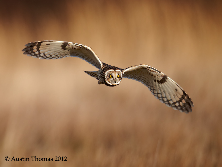 Short Eared Owl - hunting