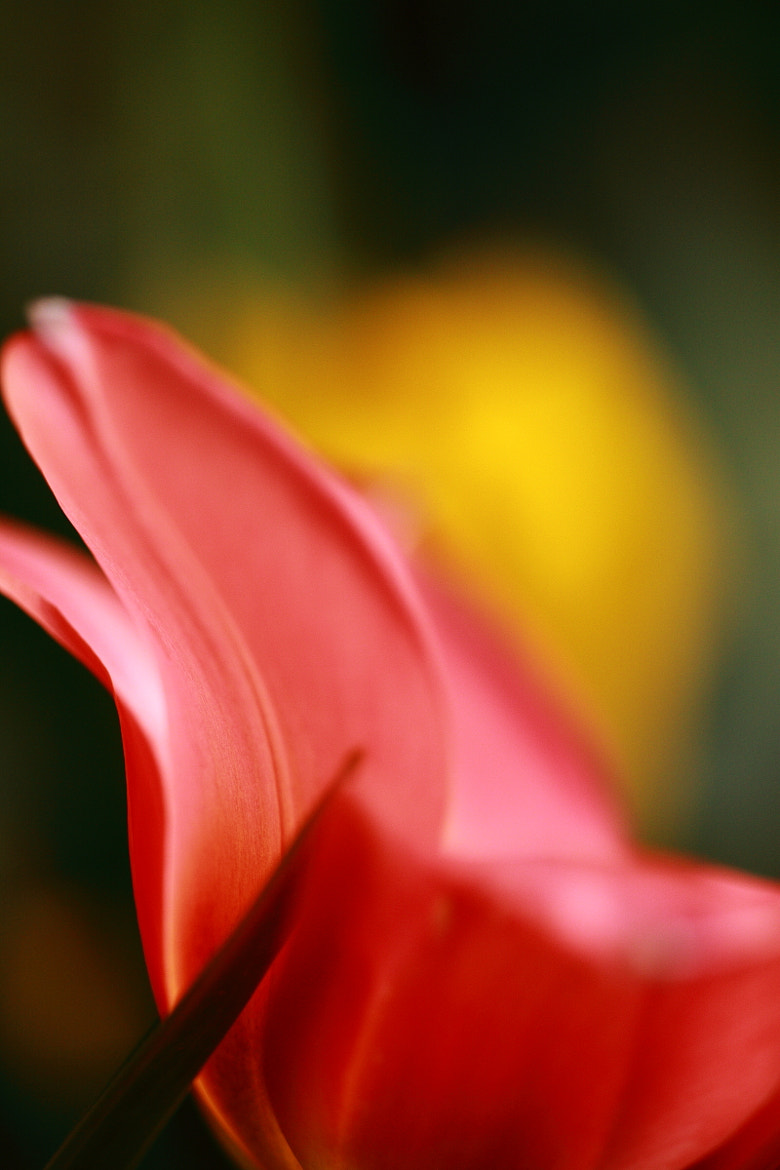 Photograph Tulip by Bing the Park on 500px