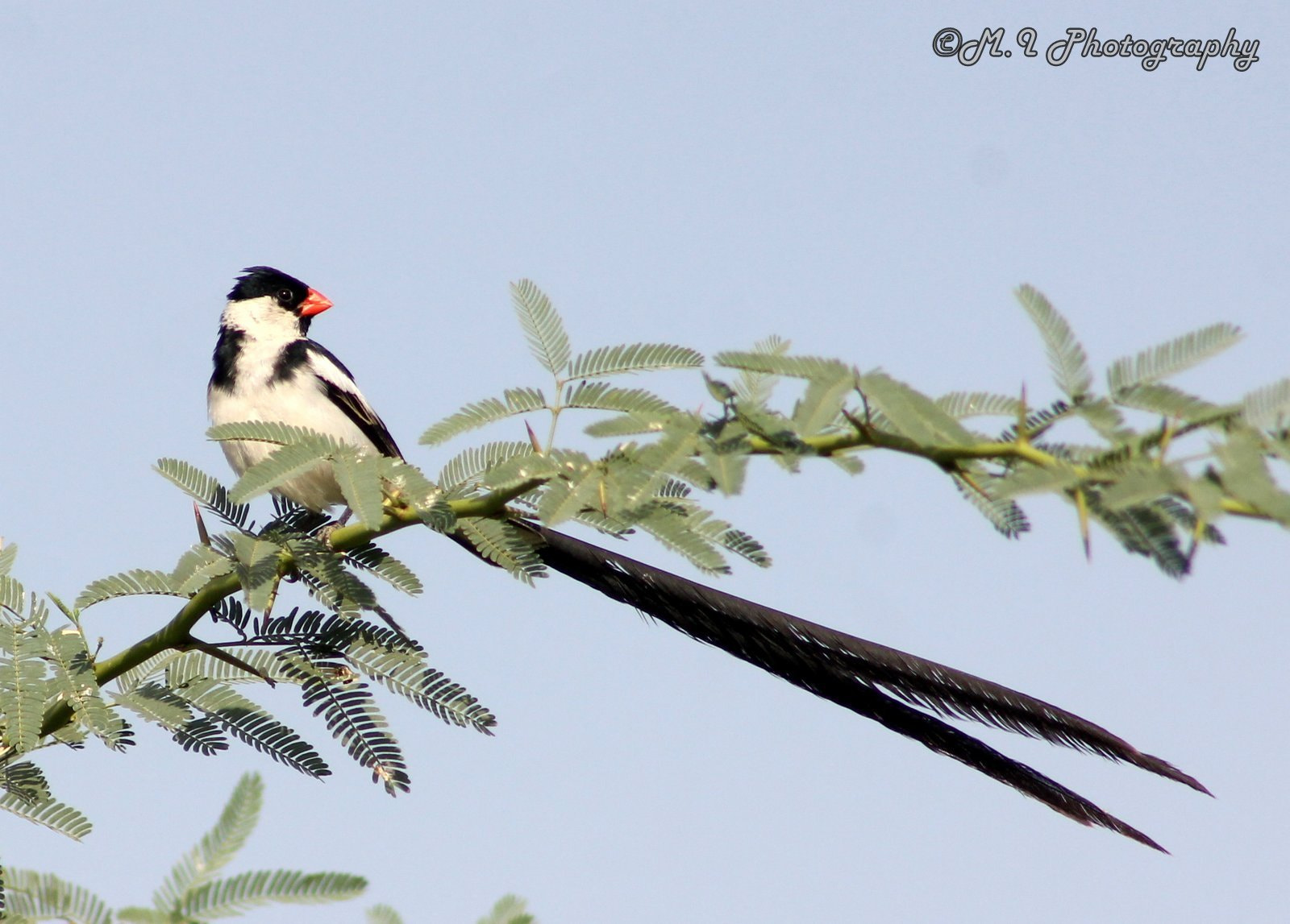 Photograph Pin-tailed Whydah by Mohamed Ismael on 500px