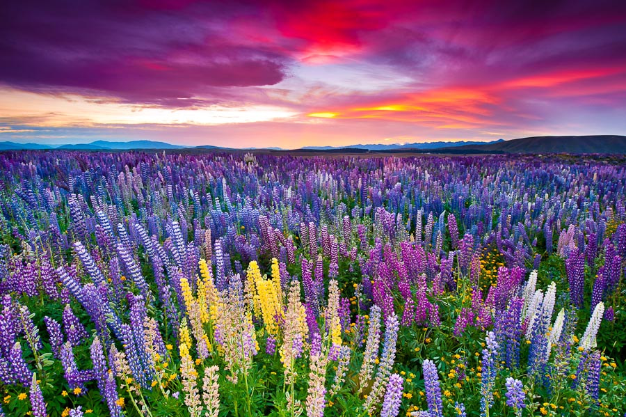 Photograph The Russell Lupins field by Padsaworn Wannakarn on 500px