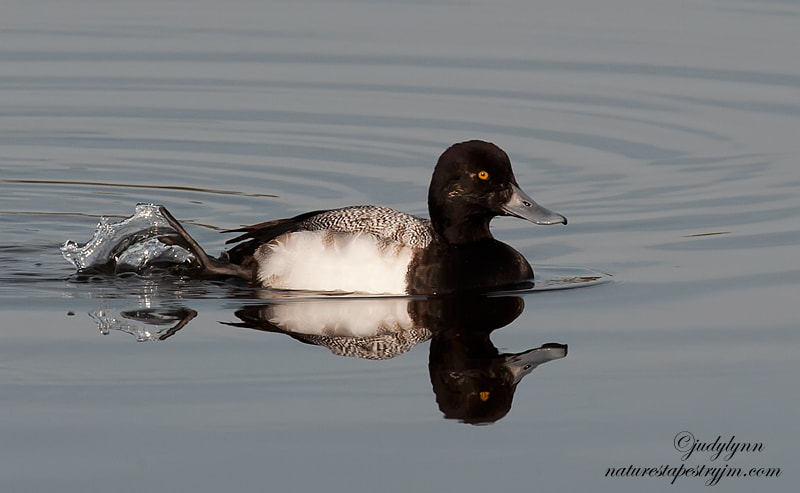 This is an image of the lesser scaup.  The lesser scaup and the greater are very similar and sometimes it is hard to tell them a paart.  They are a beautiful duck and the golden eye really pops against the black head.  This one was travelling alone so I followed him for some time.